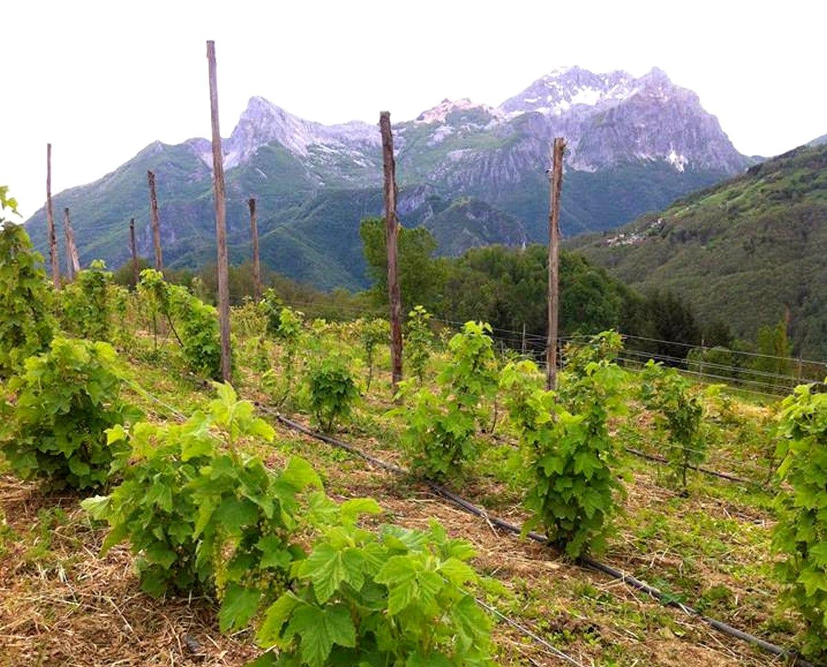 Vigne di riesling di Maestà della Formica nelle Alpi Apuane