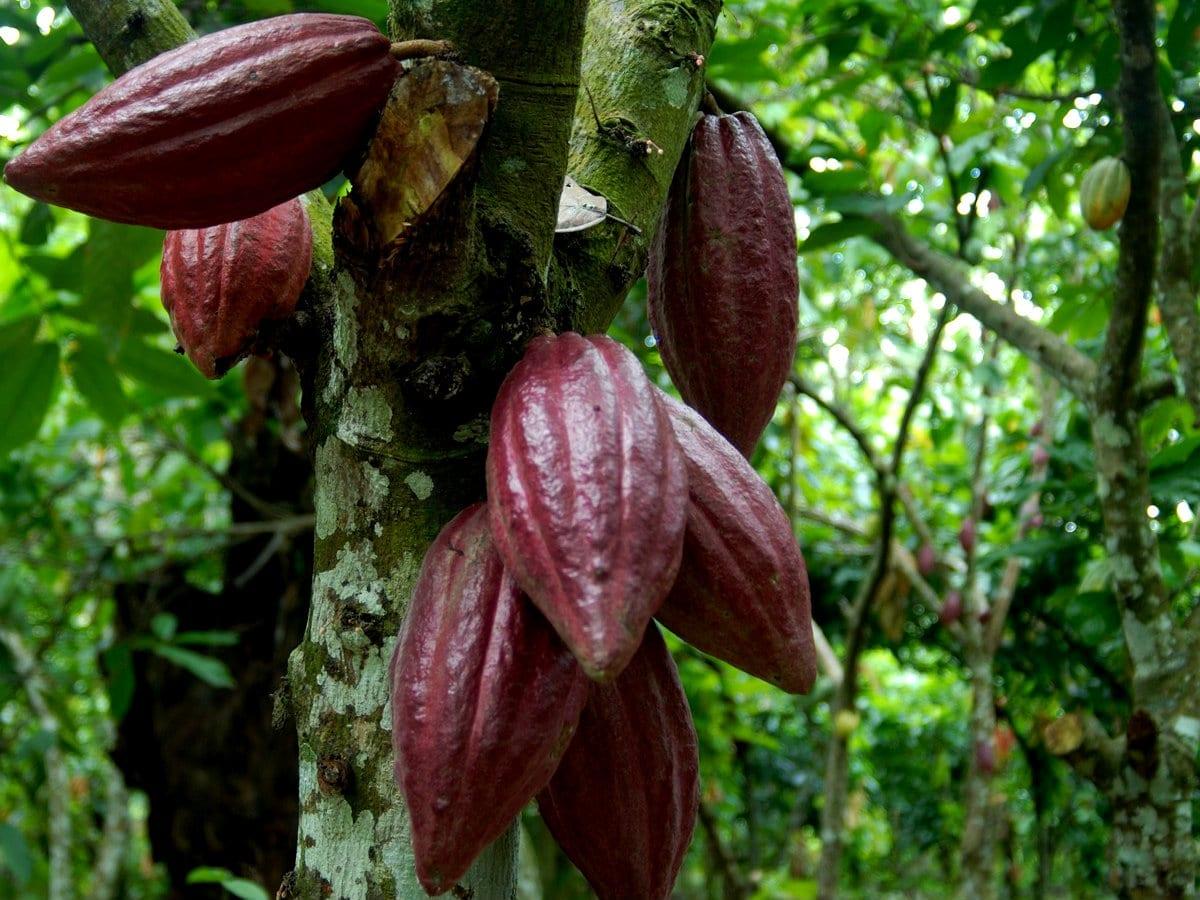 Repubblica Dominicana Cacao criollo dominicano