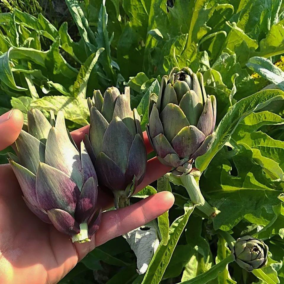 Carciofi violetti di Niscemi appena raccolti