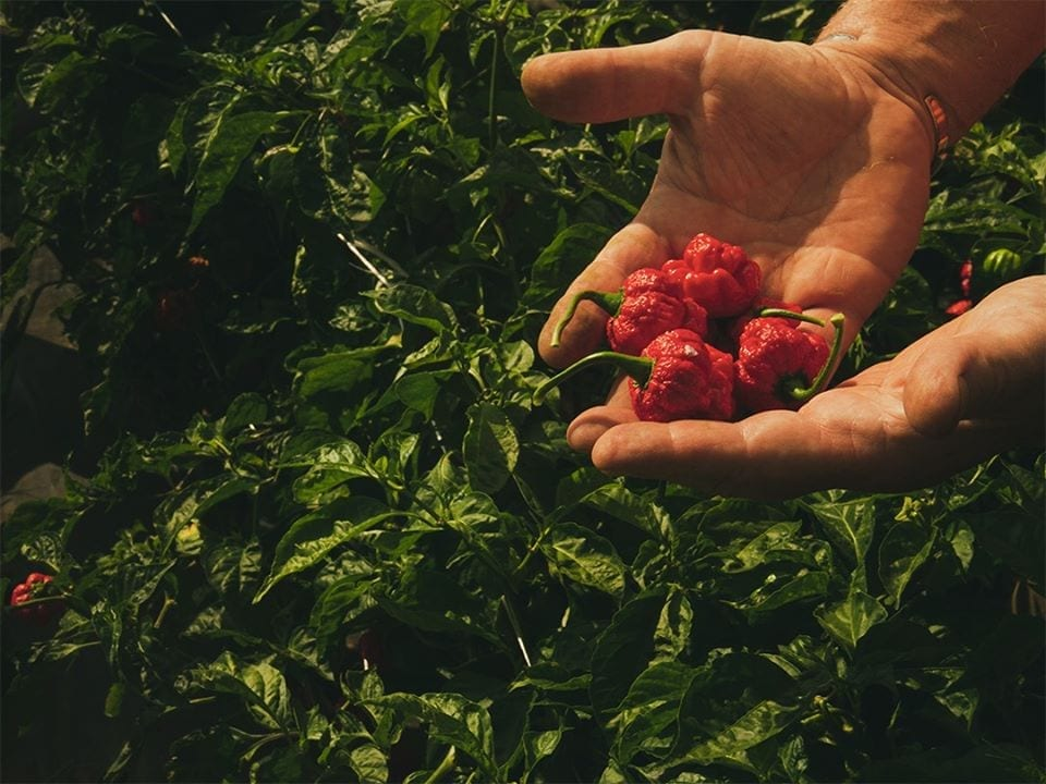 Peperoncini Capsicum appena raccolti, tra le mani di un contadino