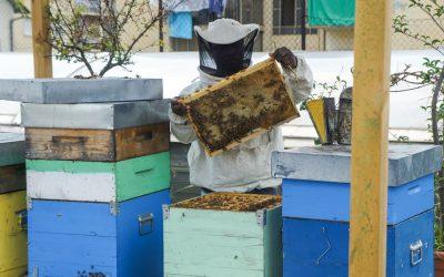 Un apicoltore alle prese con la smielatura di un'arnia