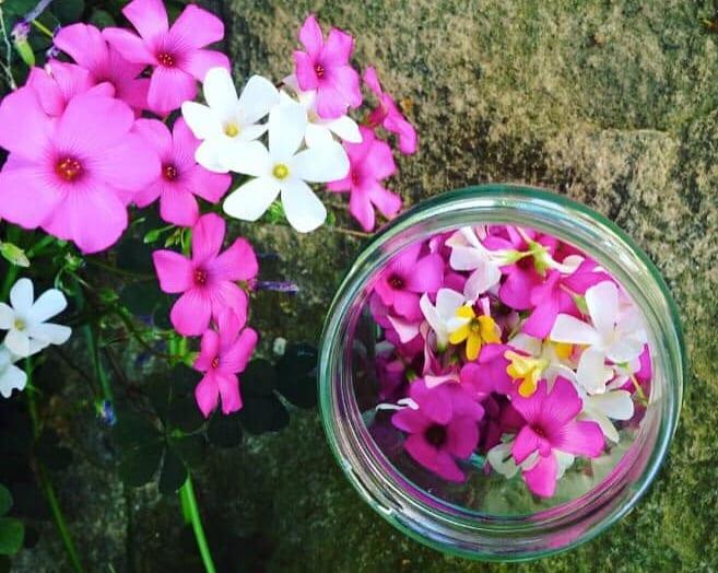fiori eduli, acetosella