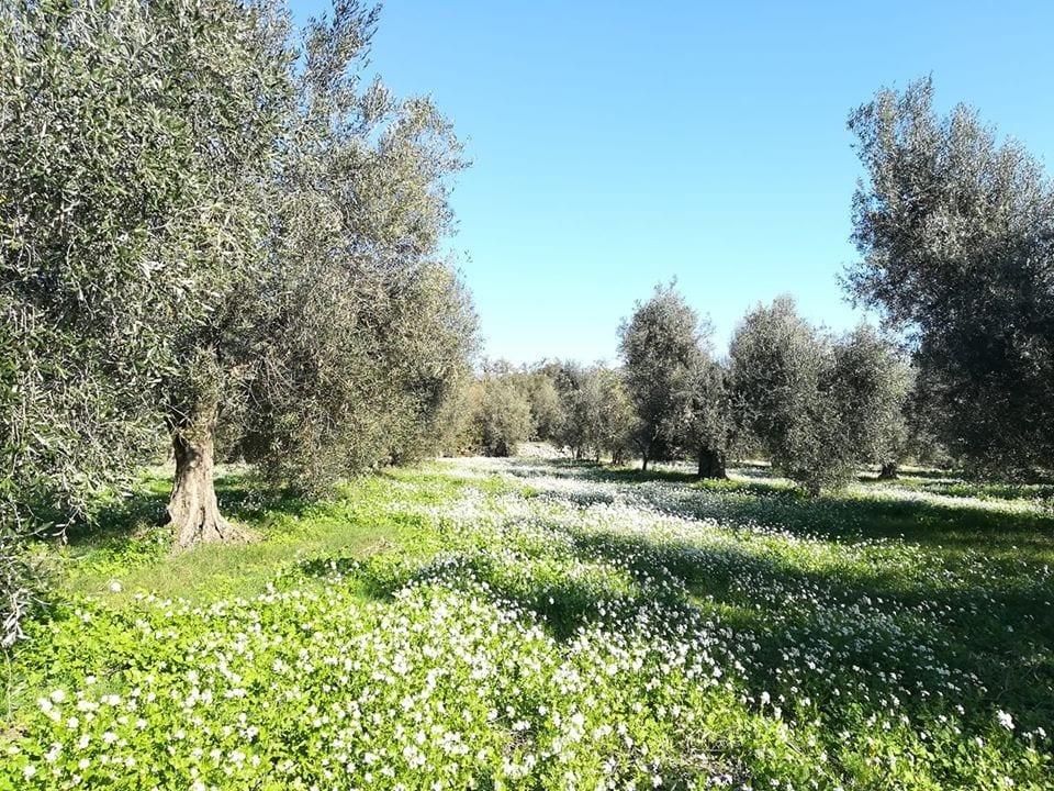L'uliveto di Cerrosughero nel Lazio