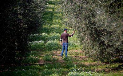 L'uliveto di Masciangelo in Abruzzo