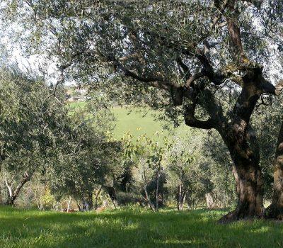 Un uliveto in Emilia Romagna