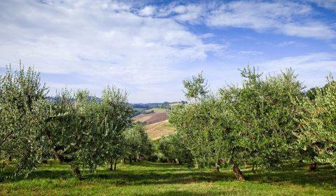 Un uliveto in Toscana
