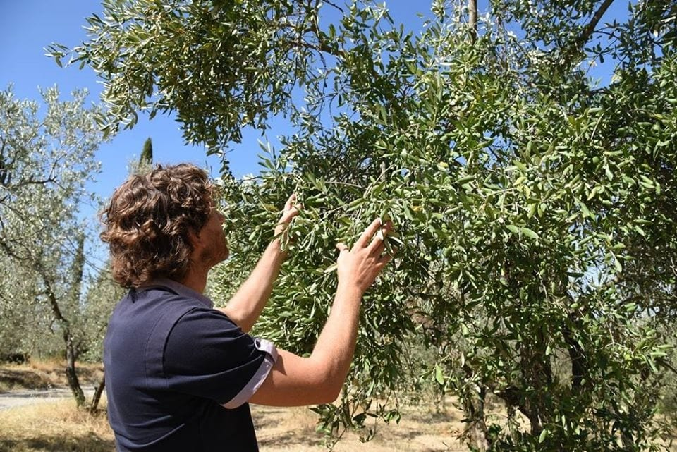 Uliveto Pruneti in Toscana