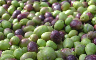 olive, Ruffino