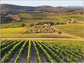 Rufina vineyards