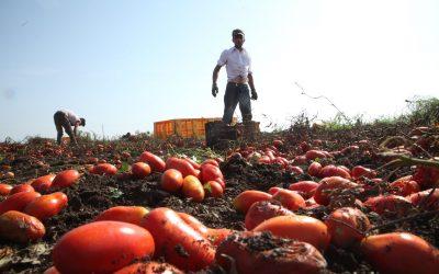 Braccianti stranieri in un campo di pomodori san marzano