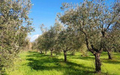 L'oliveto di Pignatelli in Molise