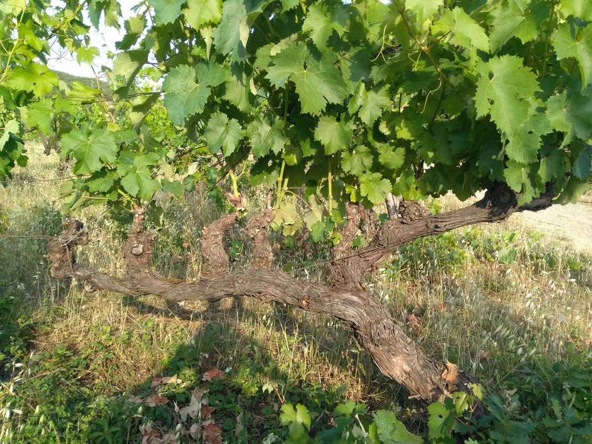Frascole Rufina vino