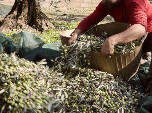 Raccolta delle olive dei Frantoiani del Vulture