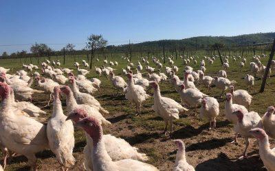 Polli allo stato brado