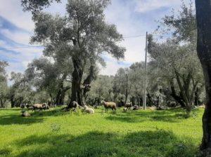Un uliveto in Calabria