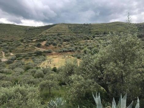 L'uliveto di Terraliva in Sicilia