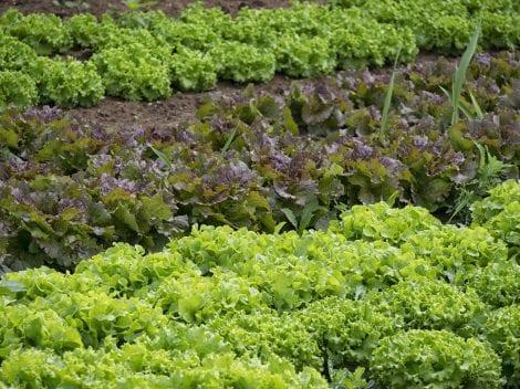 campo insalata