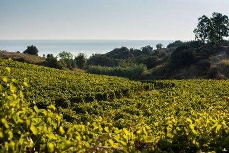 Librandi vineyards