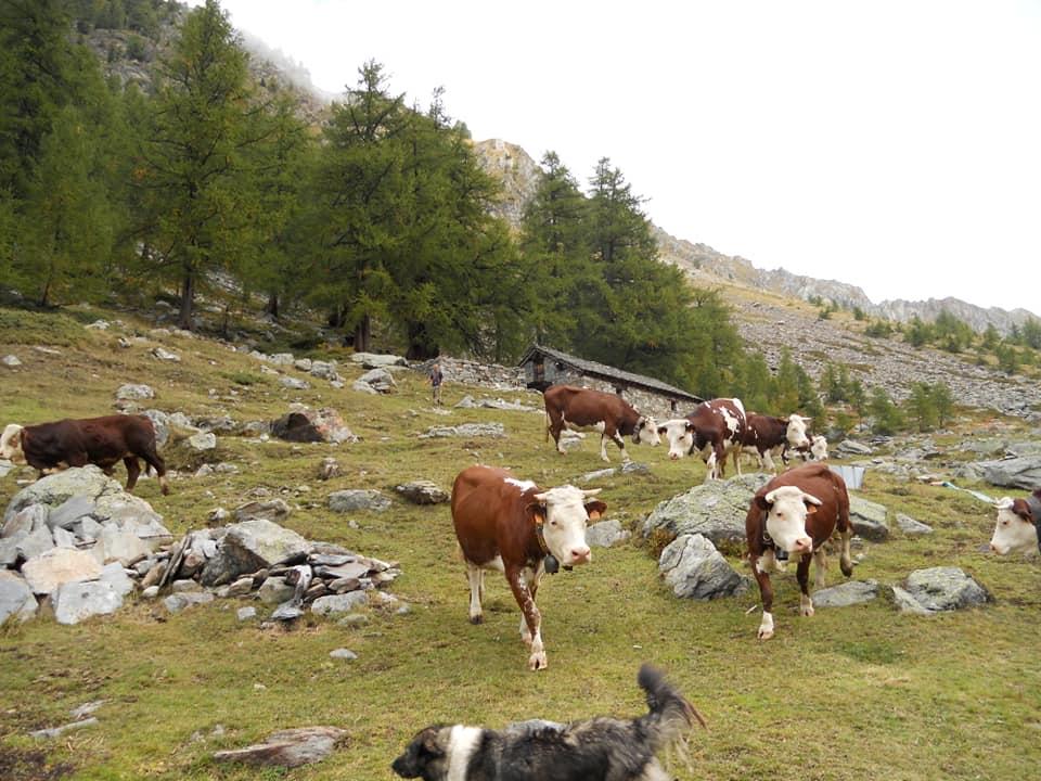 Mucche al pascolo in alpeggio