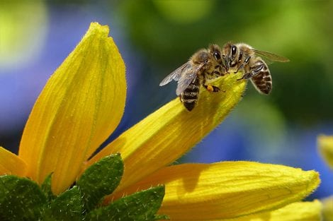 api sul fiore