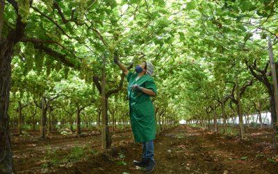Una bracciante agricola raccoglie l'uva a Ginosa