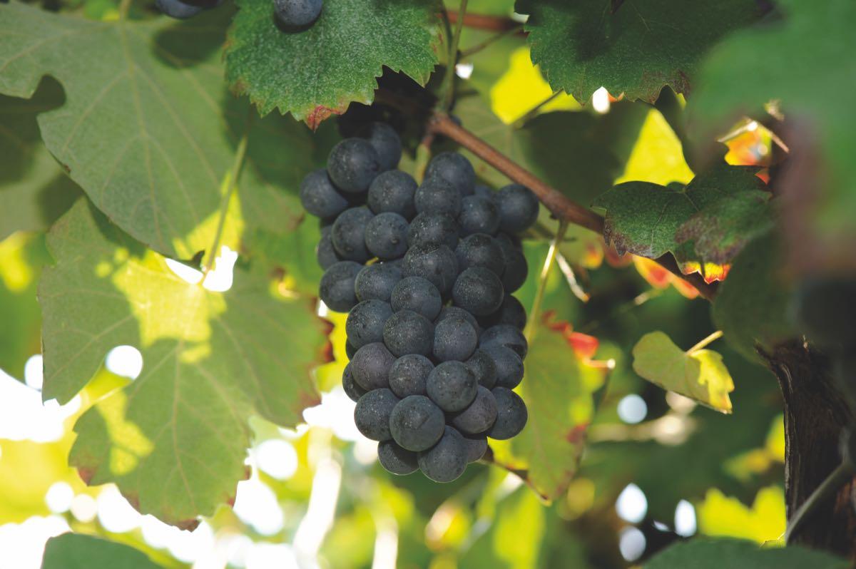 Le uve del Lambrusco