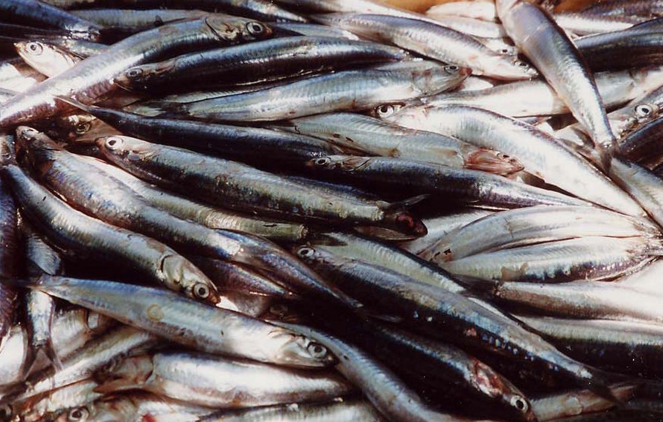 Alici Cooperativa pescatori Cinque Terre Portofino