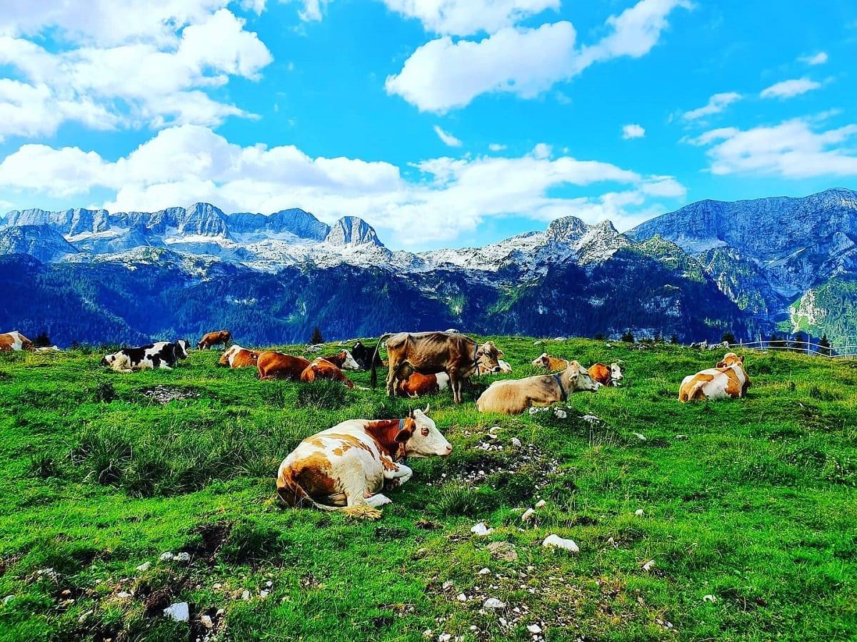 Mucche in alpeggio alla malga del Montasio
