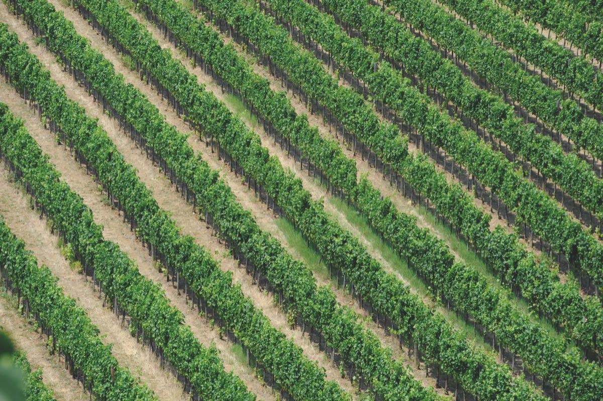le vigne di Lambrusco