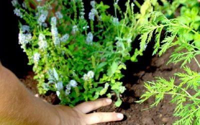 Piantumazione di una pianta aromatica