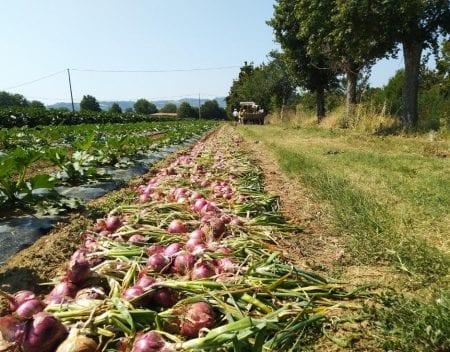 Campo con cipolle appena raccolte