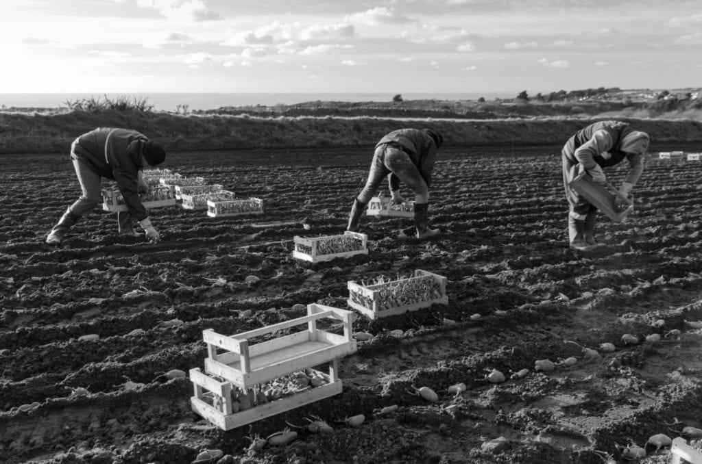 Raccoglitori di patate in un campo del Jersey