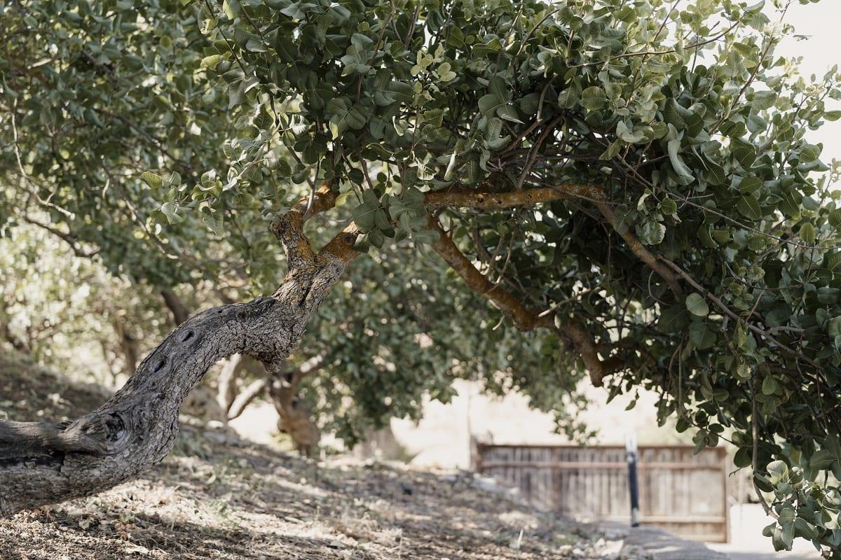 Un albero di pistacchio