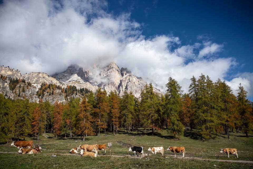 mucche, SanBrite