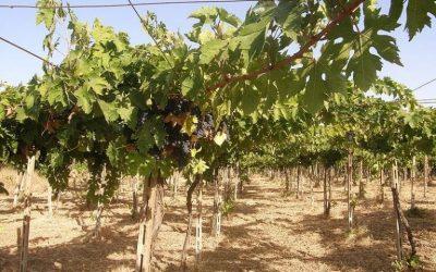 Abruzzo montepulciano grapes