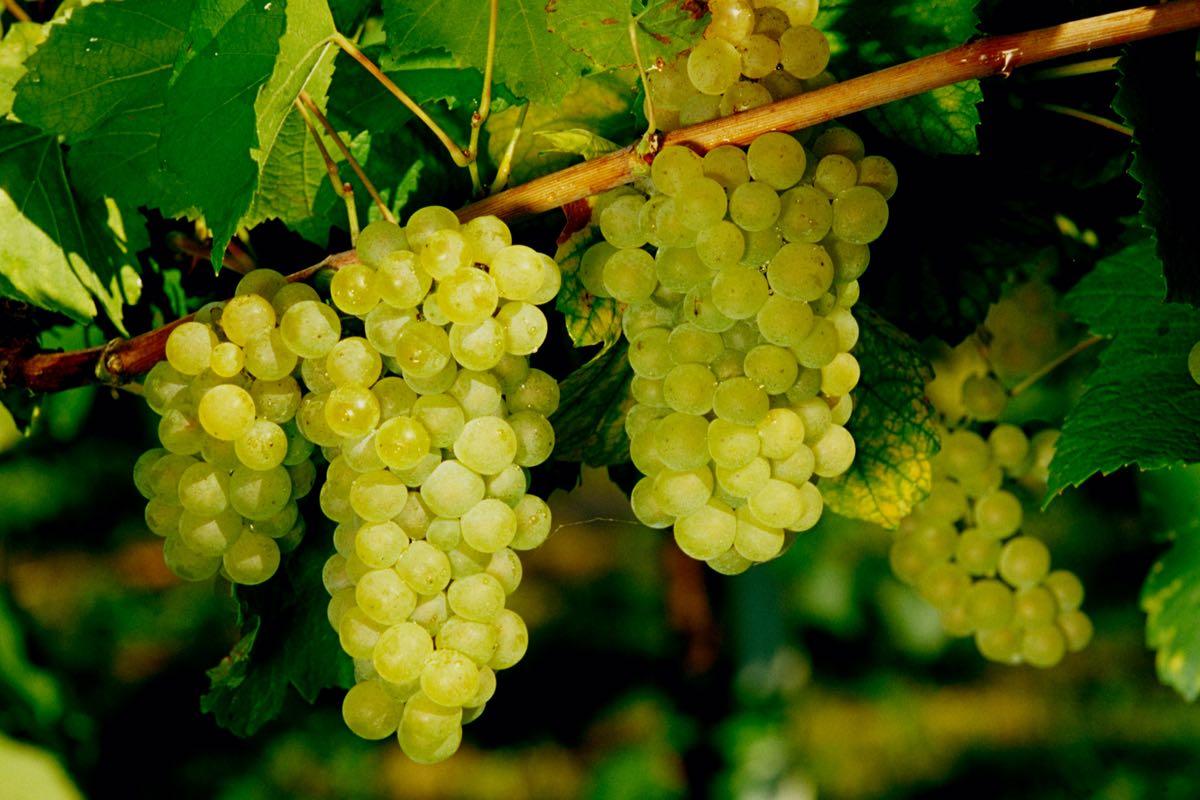 Fortana - vino del Delta del Po