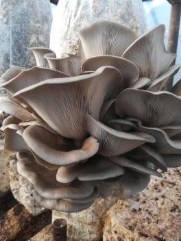 Funghi Espresso: l'idea di un'azienda toscana che coltiva i funghi con i fondi di caffè