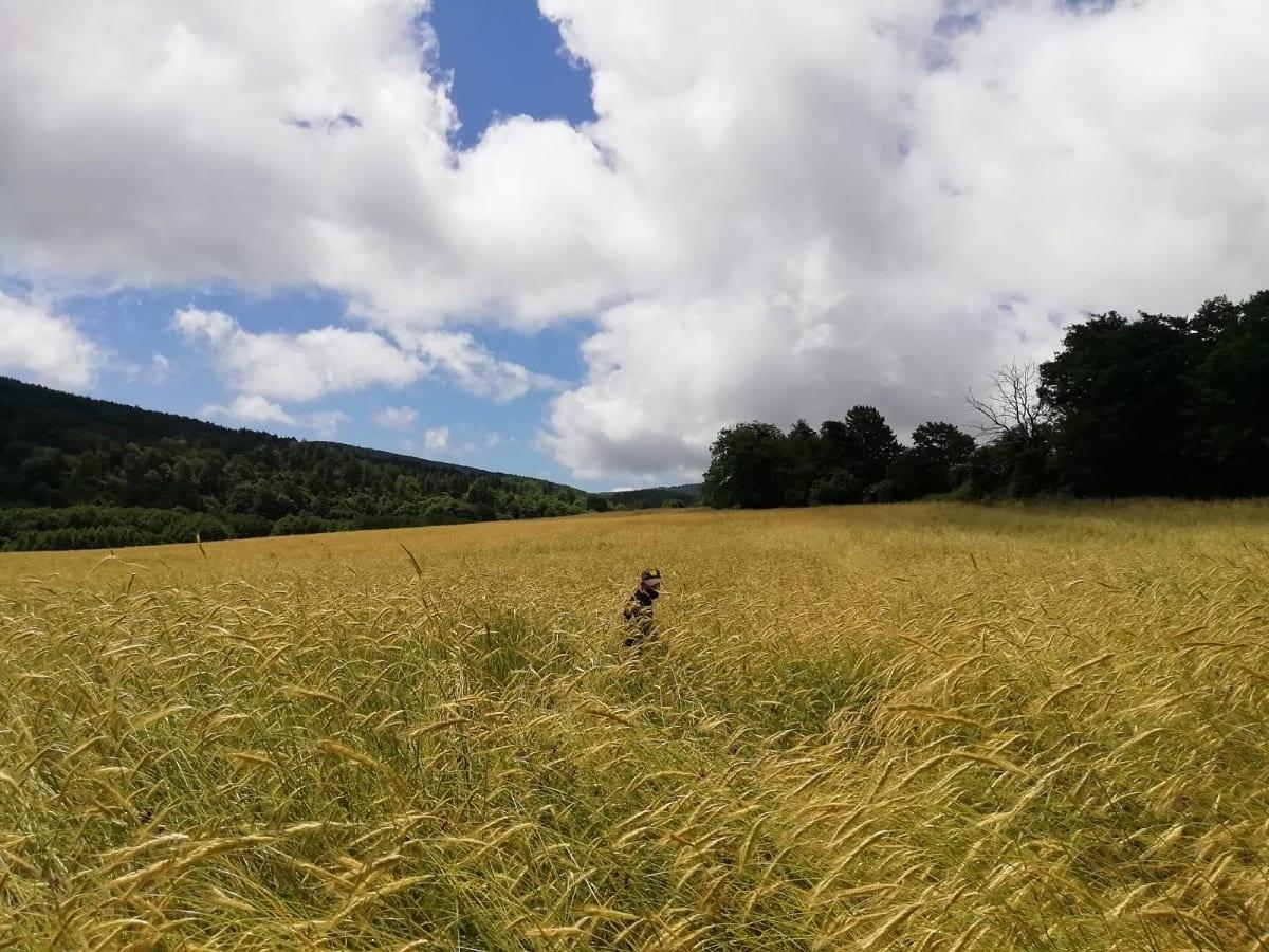 Campo di grano all'agriturismo Costantino