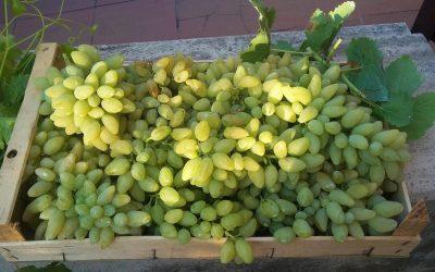 cassa di uva pizzutello