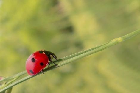 Biologico - coccinella - Foto di Michael Schwarzenberger da Pixabay