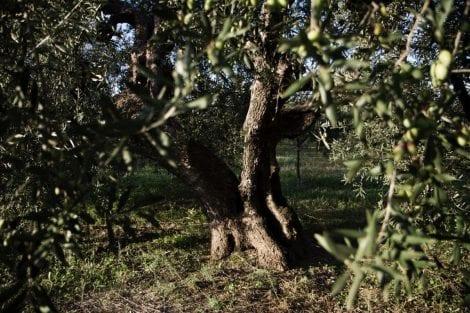 oliveto muraglia