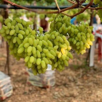 Uva bianca da tavola in vigna