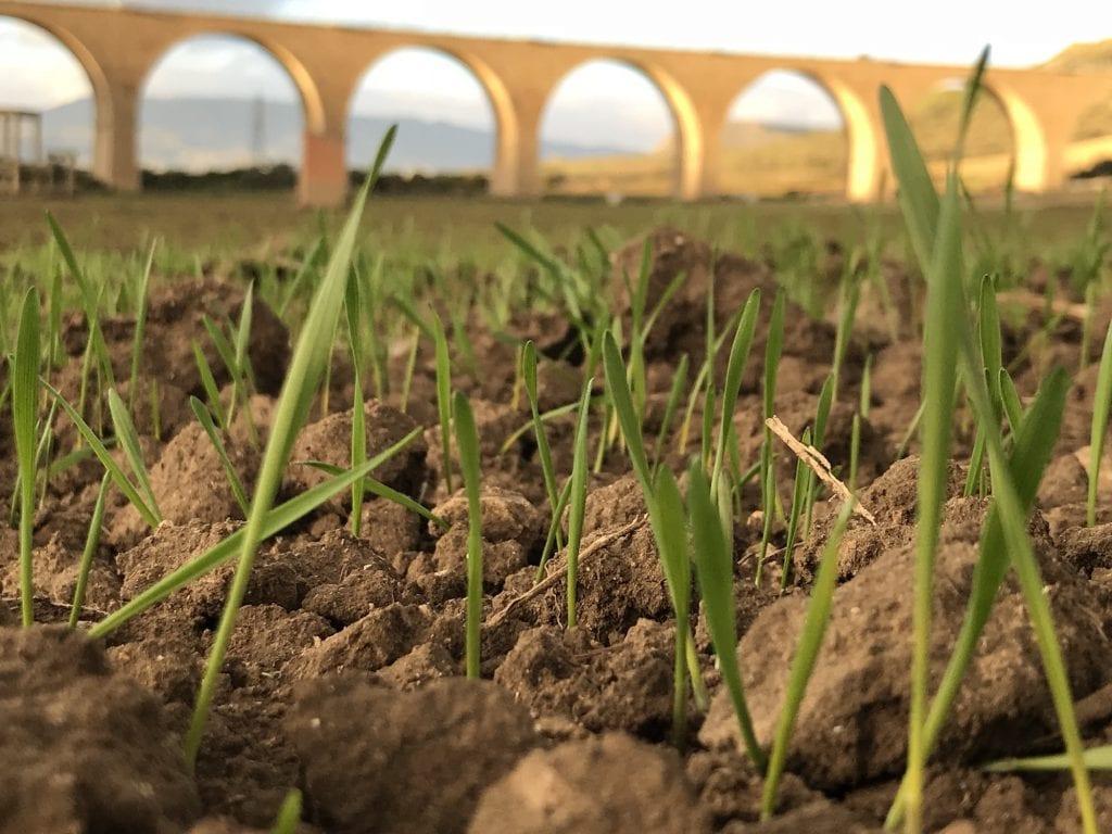 campi dove crescono i grani Tiraditto e Pilusedda