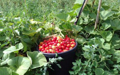 pomodori appena raccolti a Partinico