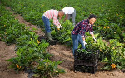 Contadini lavorano alla raccolta delle zucchine