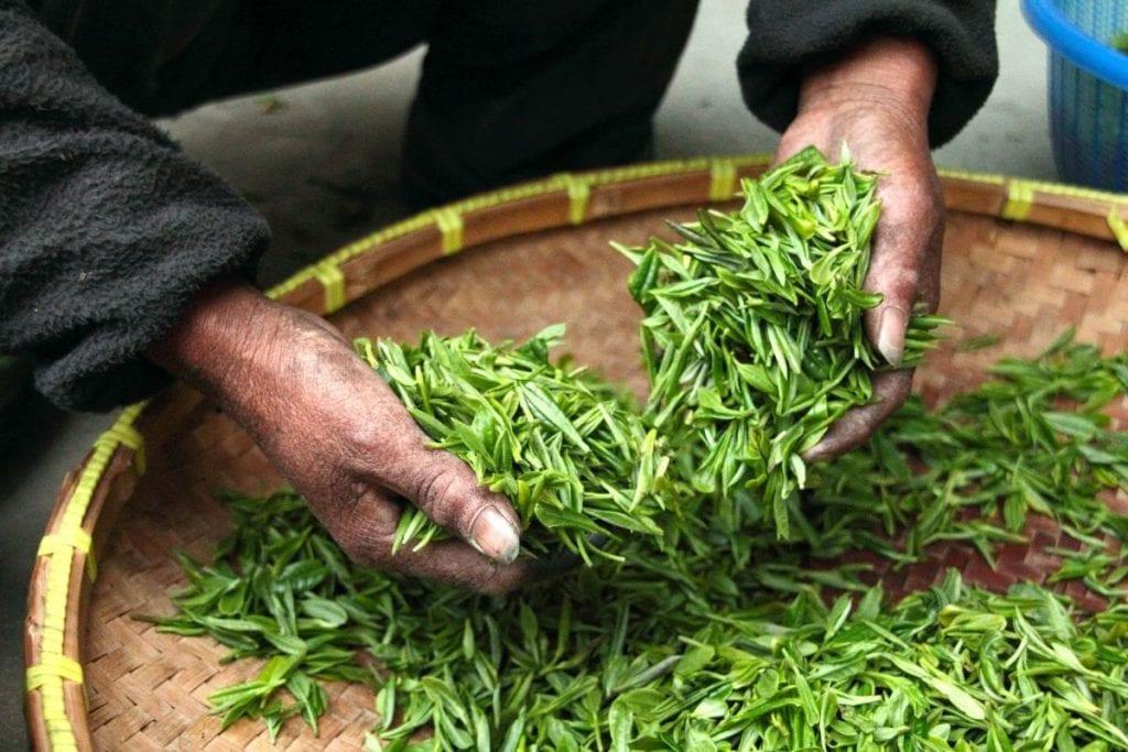 Selezione foglie tè matcha