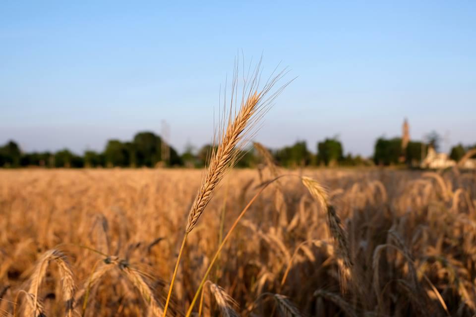 Campo di cereali a Chiaravalle