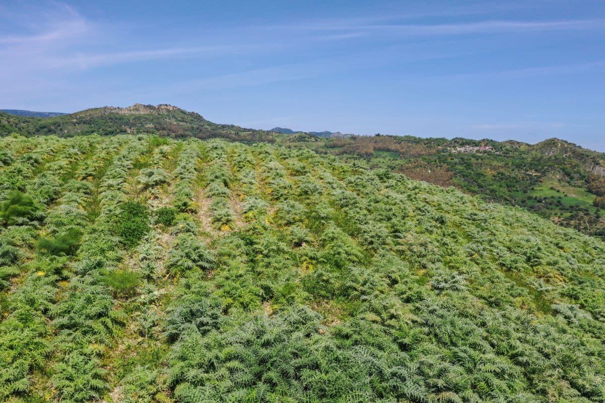 Carciofini della Locride