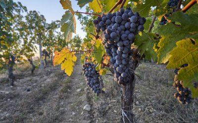 Long Dai vines_copyright-richard-haughton