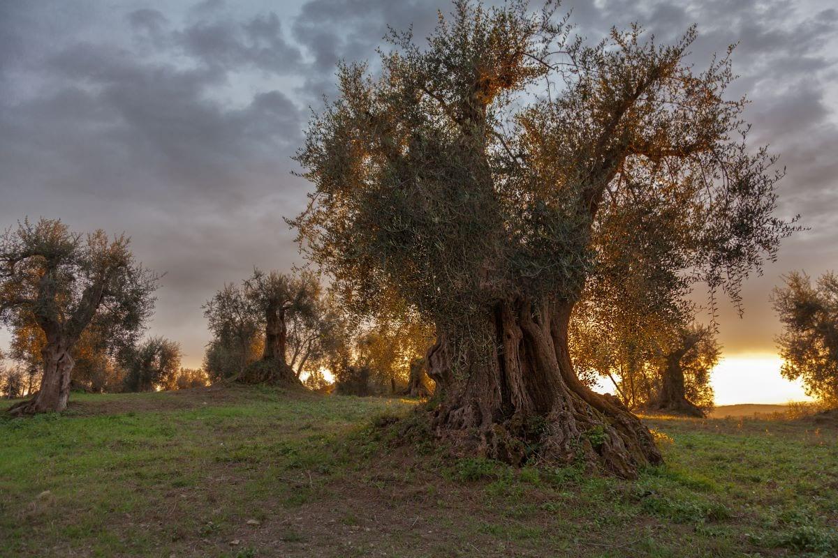 Olivi amiata